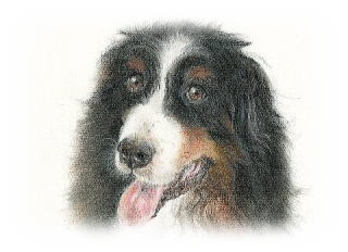 Bernese Mountain Dog Sion